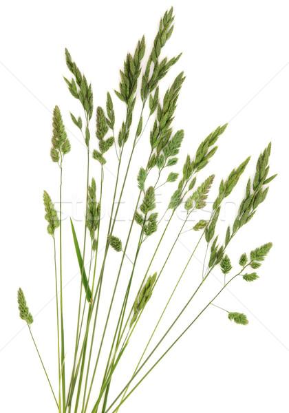 Centeno hierba pradera resumen diseno blanco Foto stock © marilyna