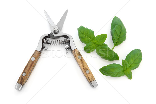 Basil Herb and Secateurs Stock photo © marilyna