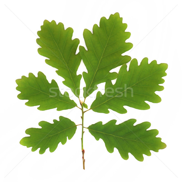 Oak Leaf Sprig Stock photo © marilyna