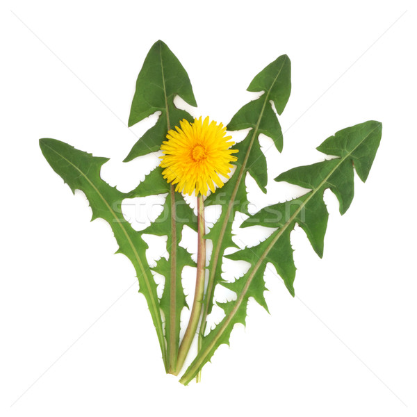 Dandelion Herb Flower Stock photo © marilyna