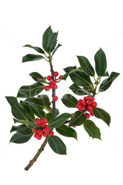 Holly Berry and Leaf Sprig Stock photo © marilyna