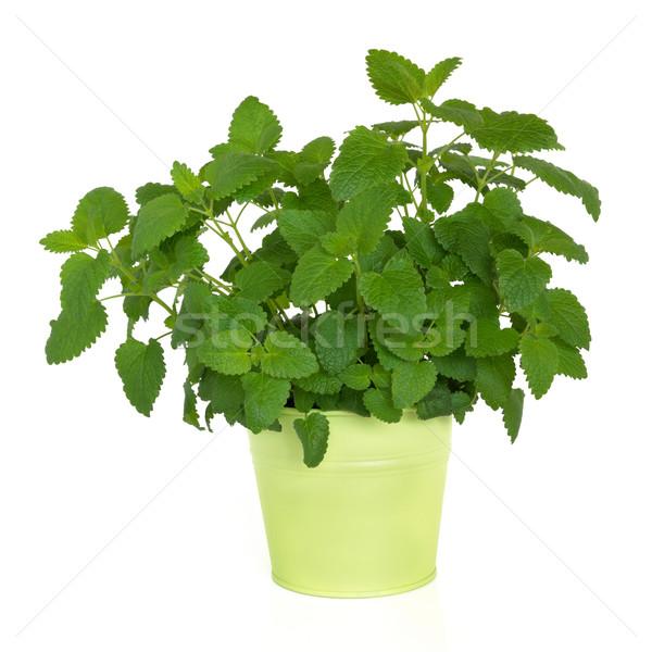 Citrom balzsam gyógynövény növény zöld fém Stock fotó © marilyna