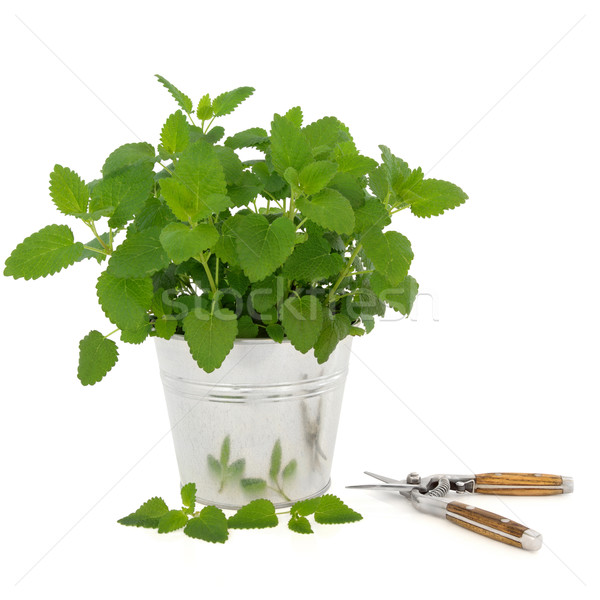 Lemon Balm Herb with Secateurs Stock photo © marilyna
