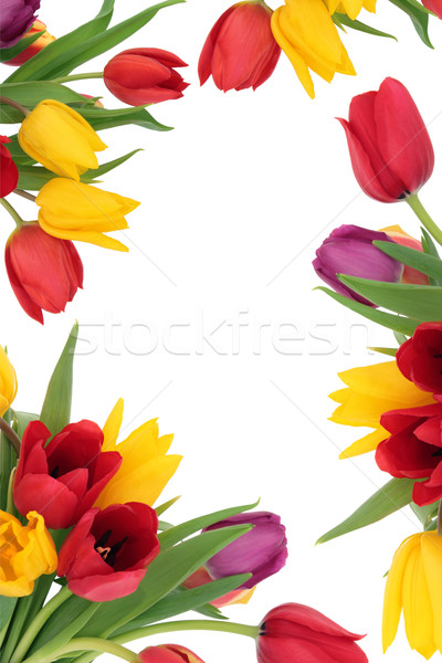 Tulipano fiore confine primavera isolato bianco Foto d'archivio © marilyna