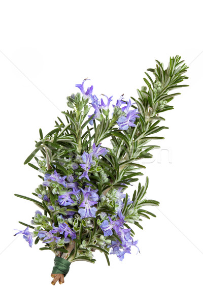 Rosemary Herb in Flower Stock photo © marilyna