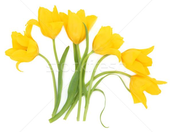 Tulip цветок аннотация шесть желтый цветы Сток-фото © marilyna