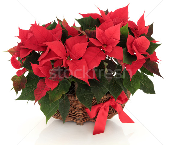 Poinsettia Flower Arrangement Stock photo © marilyna