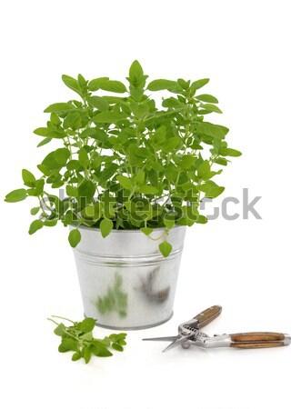 Salvia hierba planta púrpura olla hoja Foto stock © marilyna