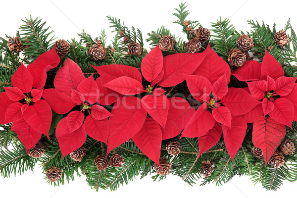 Poinsettia Flower Display Stock photo © marilyna
