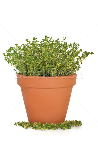 Thyme Herb Plant Stock photo © marilyna