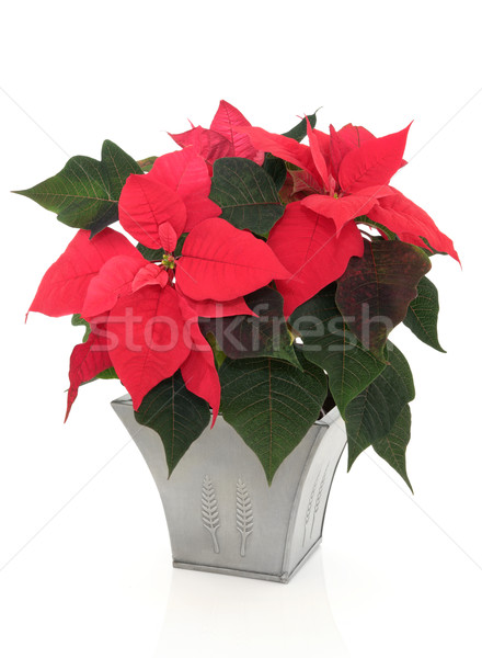 Poinsettia Flowers Stock photo © marilyna