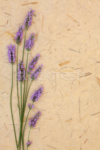 Lavender Flower Beauty Stock photo © marilyna