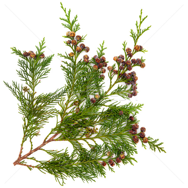Cedar Leaves Stock photo © marilyna