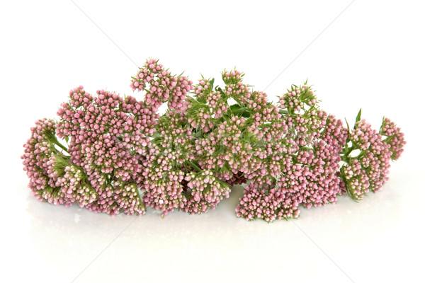 Valerian Herb Flowers Stock photo © marilyna