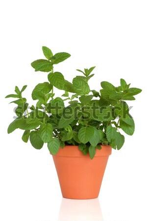 Zsálya gyógynövény növény lila edény levél Stock fotó © marilyna