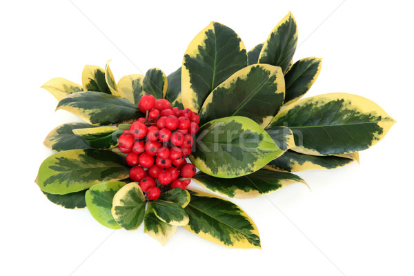 Variegated Holly Stock photo © marilyna