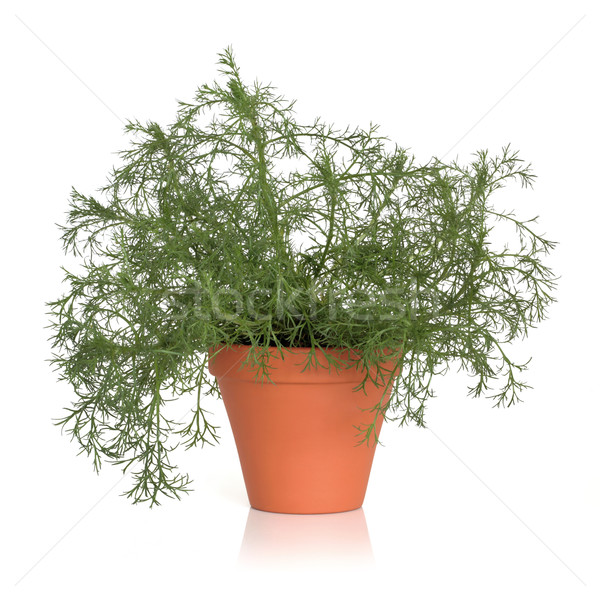 Roman Chamomile Herb Plant Stock photo © marilyna