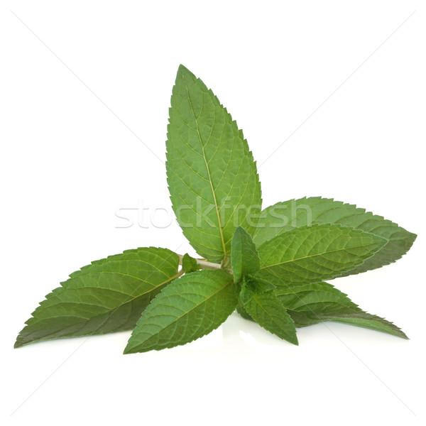 Borsmenta gyógynövény levél izolált fehér étel Stock fotó © marilyna