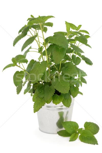 Limão bálsamo planta alumínio pote branco Foto stock © marilyna