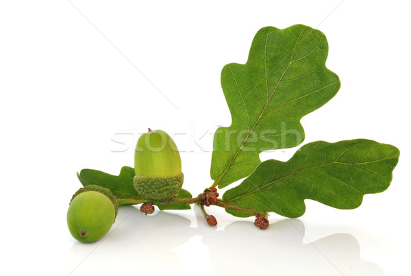 Acorn and Oak Leaf Sprig Stock photo © marilyna