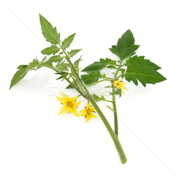 Tomato Plant Leaf Sprig Stock photo © marilyna