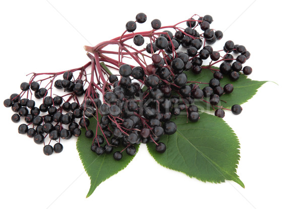 Elderberry Fruit Stock photo © marilyna