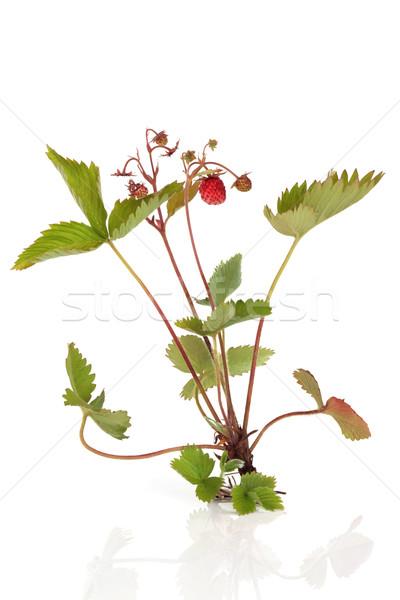 Vadeper növény gyümölcs gyökerek védtelen izolált Stock fotó © marilyna