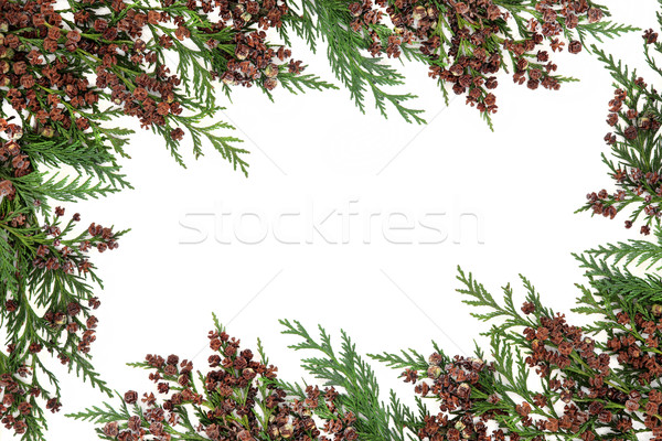 Cedar Cypress Border Stock photo © marilyna