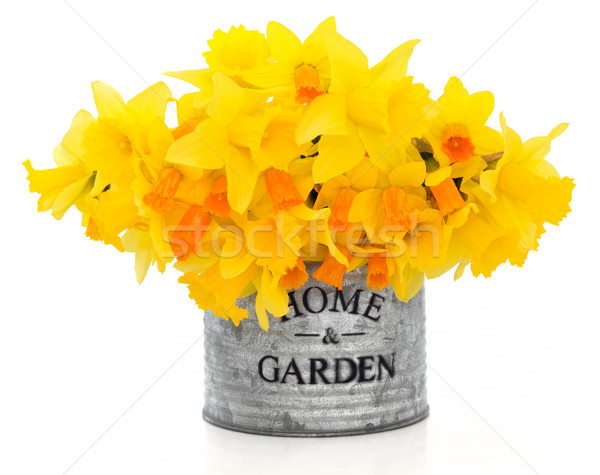 Narcissus and Daffodil Flowers Stock photo © marilyna