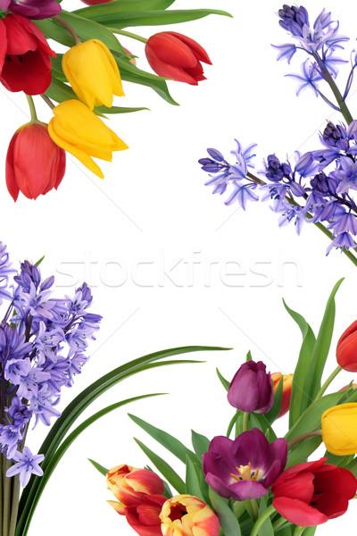 Foto stock: Flor · da · primavera · fronteira · tulipa · flor · primavera · isolado
