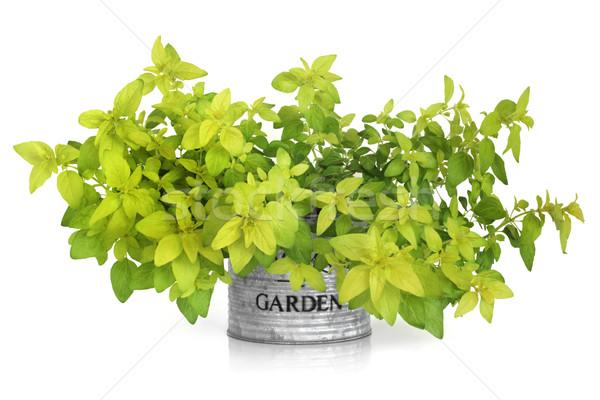 Marjoram Herb Plant Stock photo © marilyna