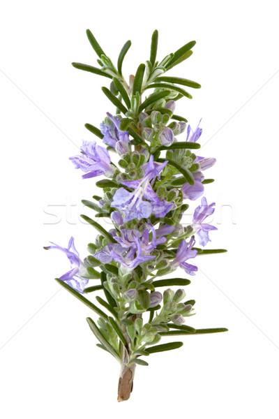Rozmaring gyógynövény virágok levél virág izolált Stock fotó © marilyna