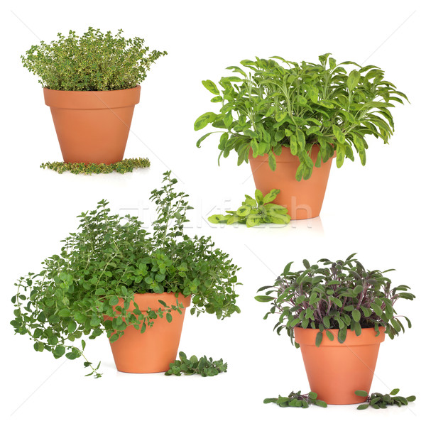 Herb Collection Stock photo © marilyna