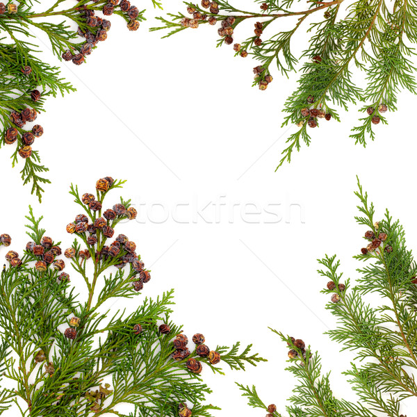 Cypress Leaf Border Stock photo © marilyna