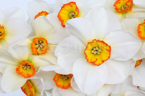 Narcissus Flower Beauty Stock photo © marilyna