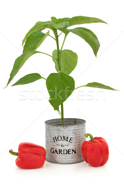 Red Pepper Plant Stock photo © marilyna