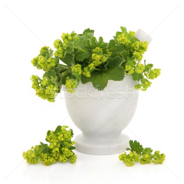 Ladies Mantle Herb Flowers Stock photo © marilyna