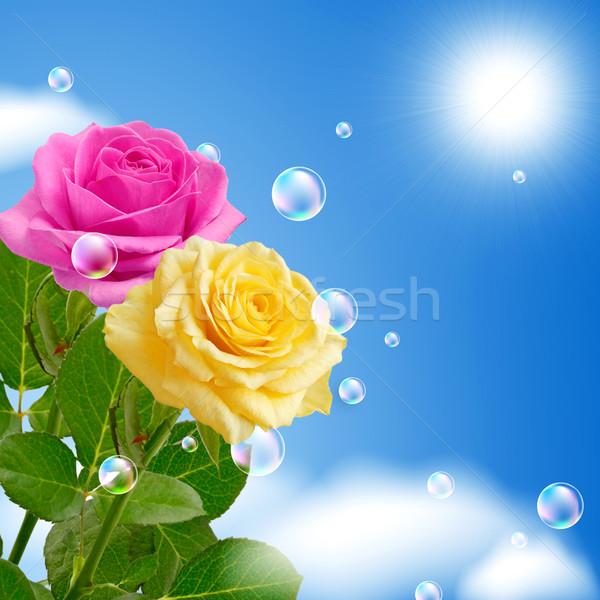 Yellow and pink roses Stock photo © Marisha