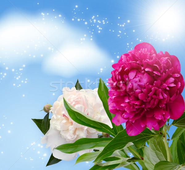 Peonies blossom   Stock photo © Marisha