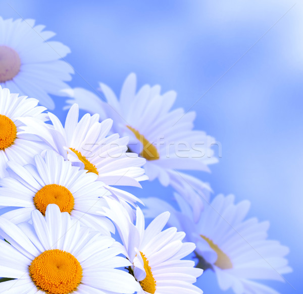Margaridas céu flores primavera natureza margarida Foto stock © Marisha