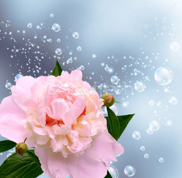 Peony and bubbles Stock photo © Marisha