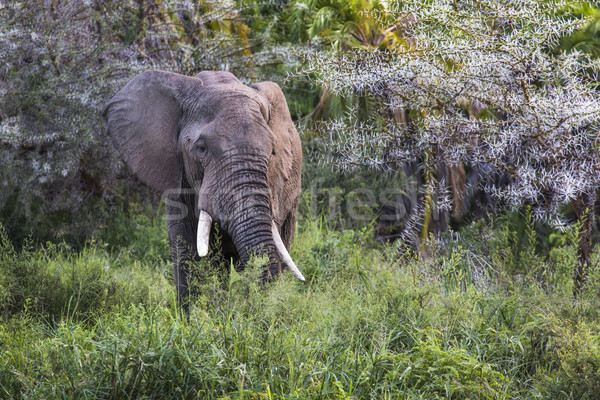 Afrika fil park Tanzanya fil kulak Afrika Stok fotoğraf © Mariusz_Prusaczyk