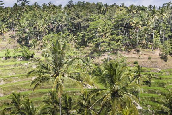 Verde arroz campos bali isla Indonesia Foto stock © Mariusz_Prusaczyk