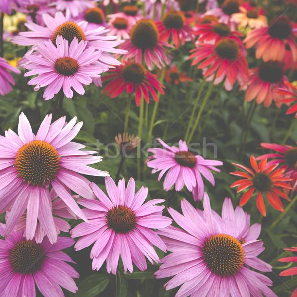 Fleurs jardin fleur fruits domaine Daisy Photo stock © Mariusz_Prusaczyk