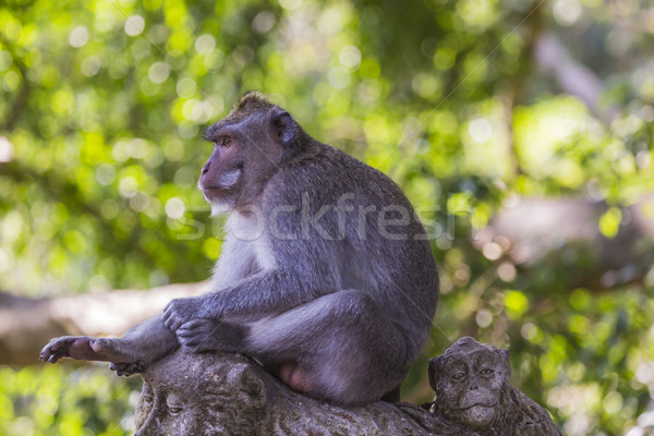 Long-tailed macaques (Macaca fascicularis) in Sacred Monkey Fore Stock photo © Mariusz_Prusaczyk