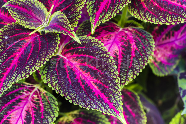 Close up of Coleus leaves (Painted nettle,Flame nettle ) Stock photo © Mariusz_Prusaczyk