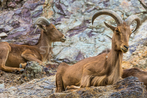 West caucasian tur goat in nature. Stock photo © Mariusz_Prusaczyk