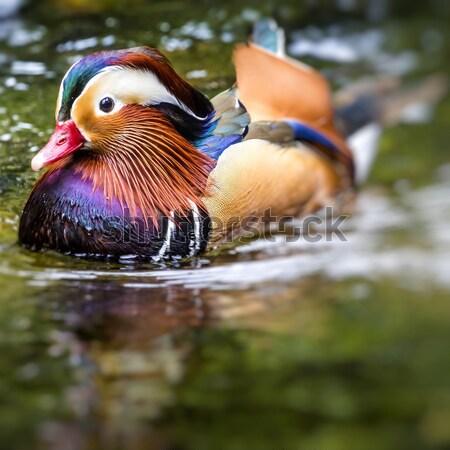 Beautiful male Mandarin Duck (Aix galericulata) Stock photo © Mariusz_Prusaczyk
