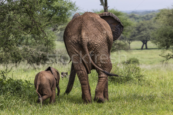 Mother and baby african elephants walking in savannah in the Tar Stock photo © Mariusz_Prusaczyk