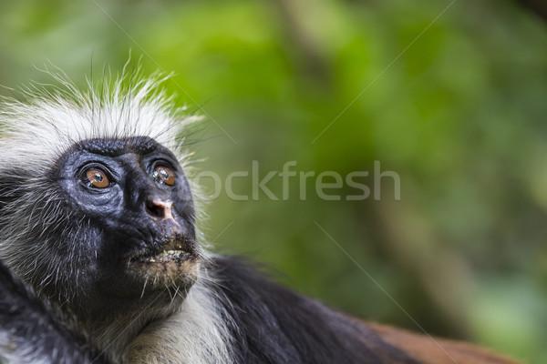 Veszélyeztetett piros majom erdő arc levél Stock fotó © Mariusz_Prusaczyk